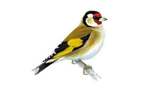 Nice wallpapers Goldfinch 530x298px