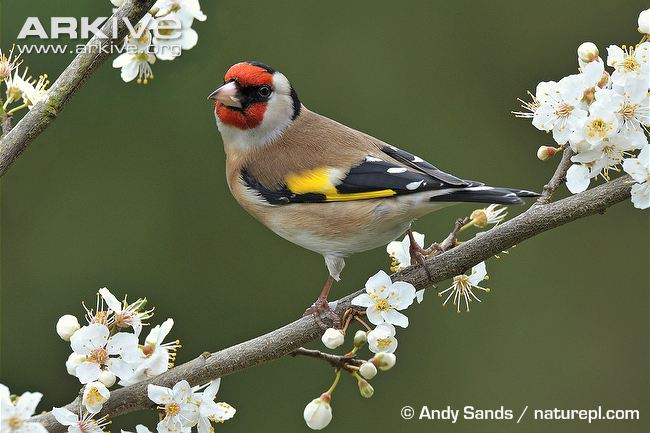 HQ Goldfinch Wallpapers | File 64.16Kb