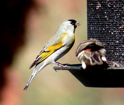 425x358 > Goldfinch Wallpapers