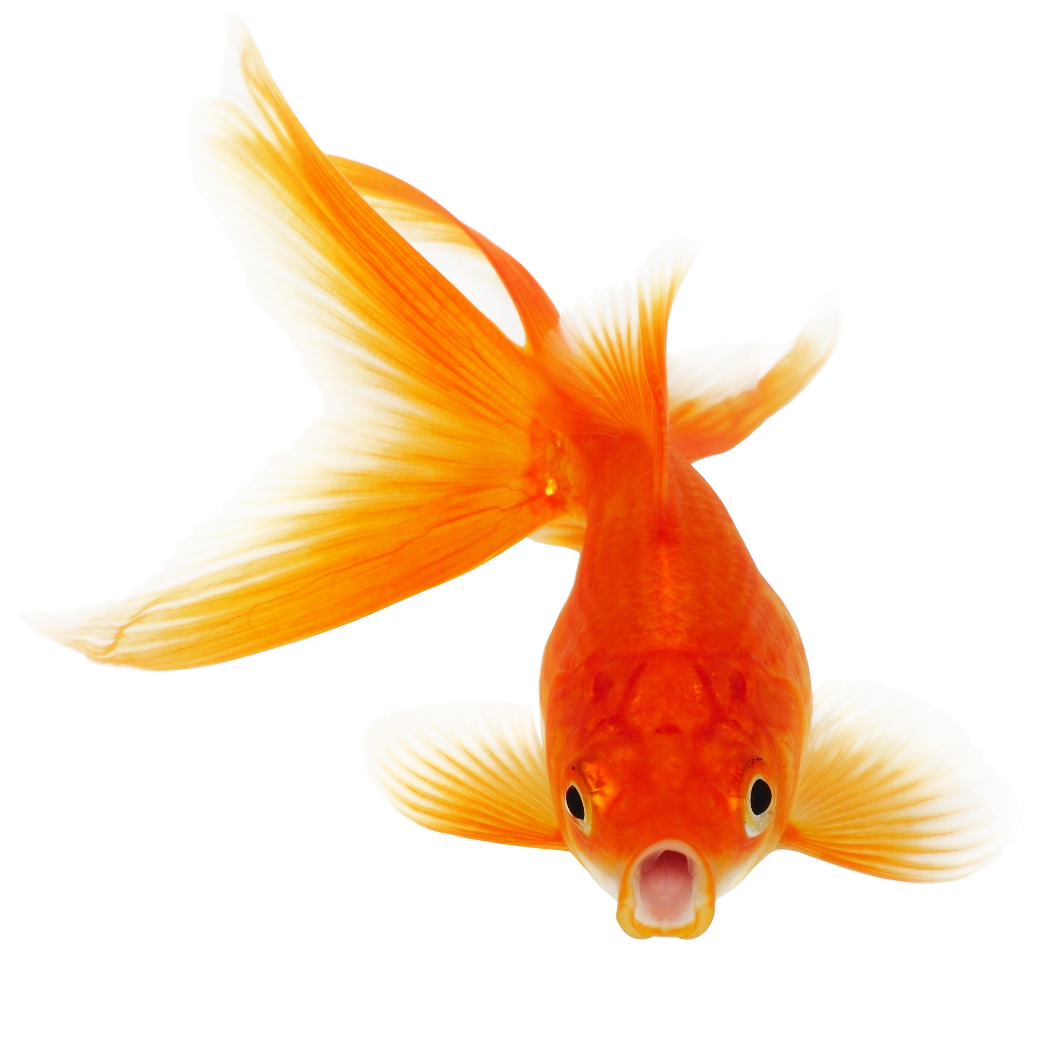 HD Quality Wallpaper   Collection: Animal, 2074x2074 Goldfish