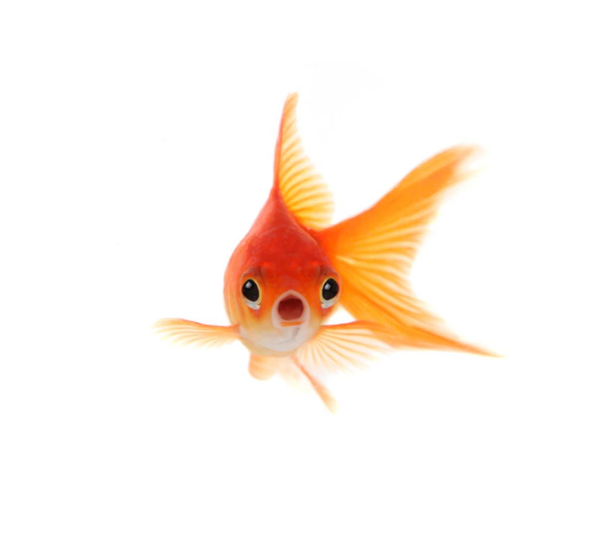 Images of Goldfish   1210x1120