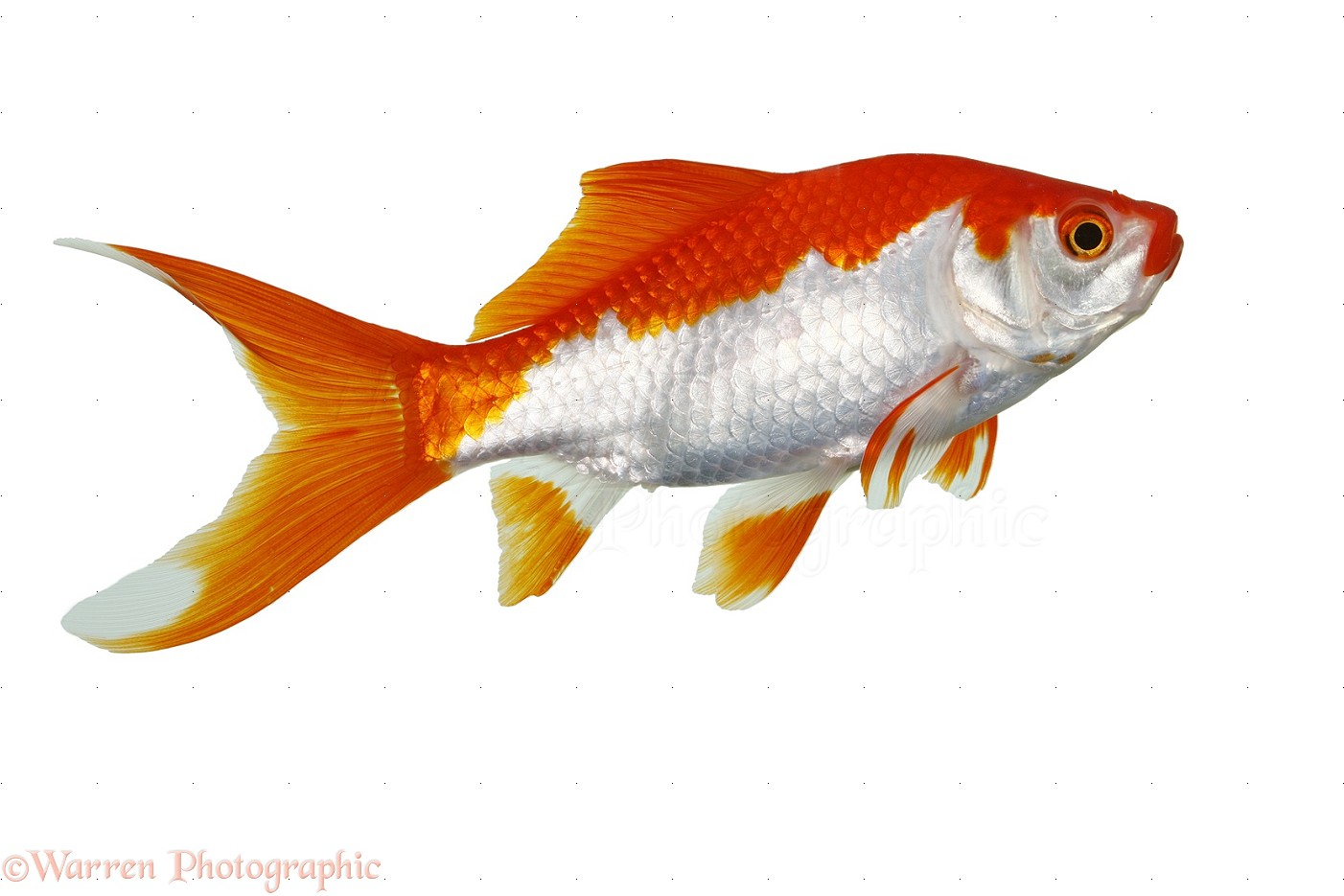 Goldfish Backgrounds on Wallpapers Vista