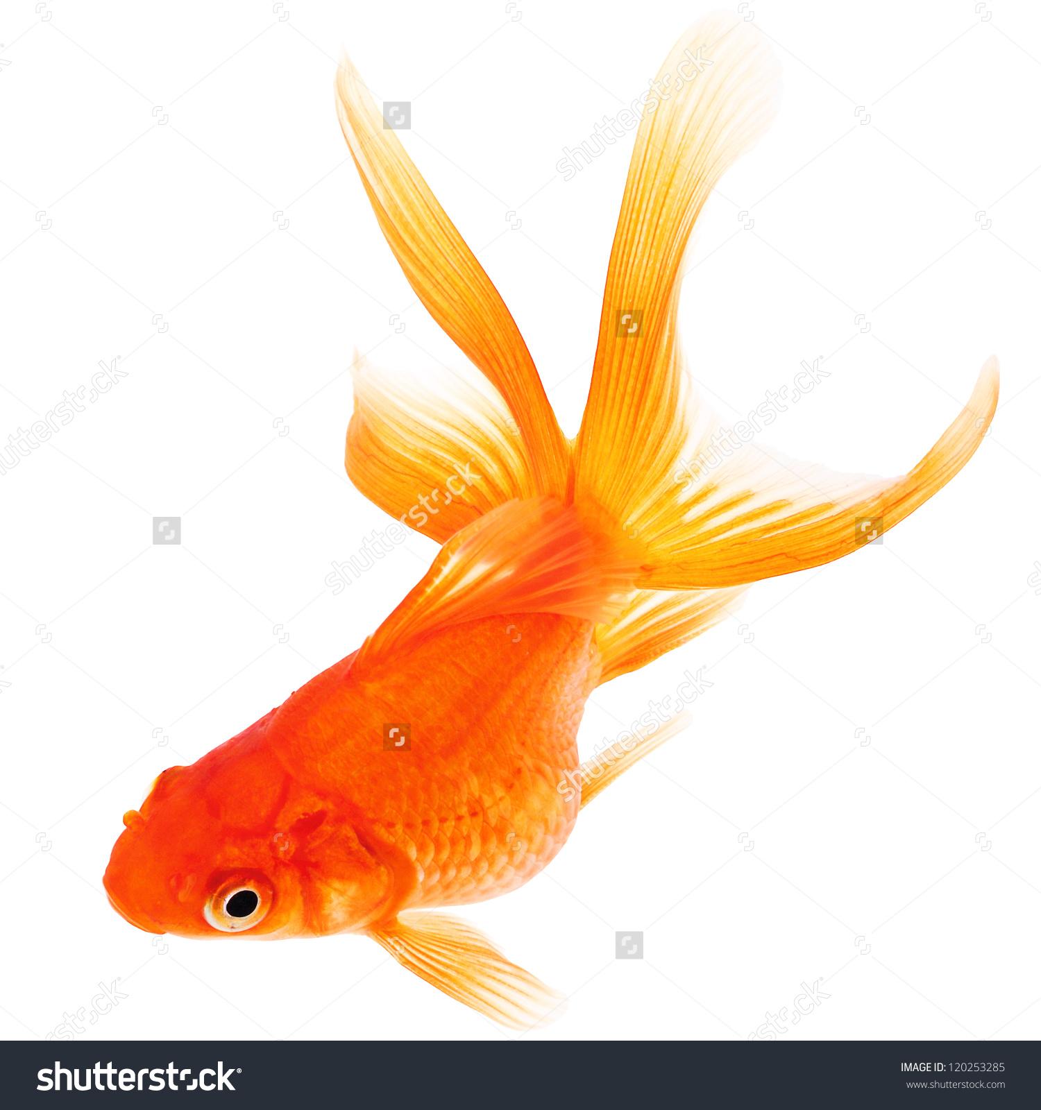 HD Quality Wallpaper   Collection: Animal, 1500x1600 Goldfish