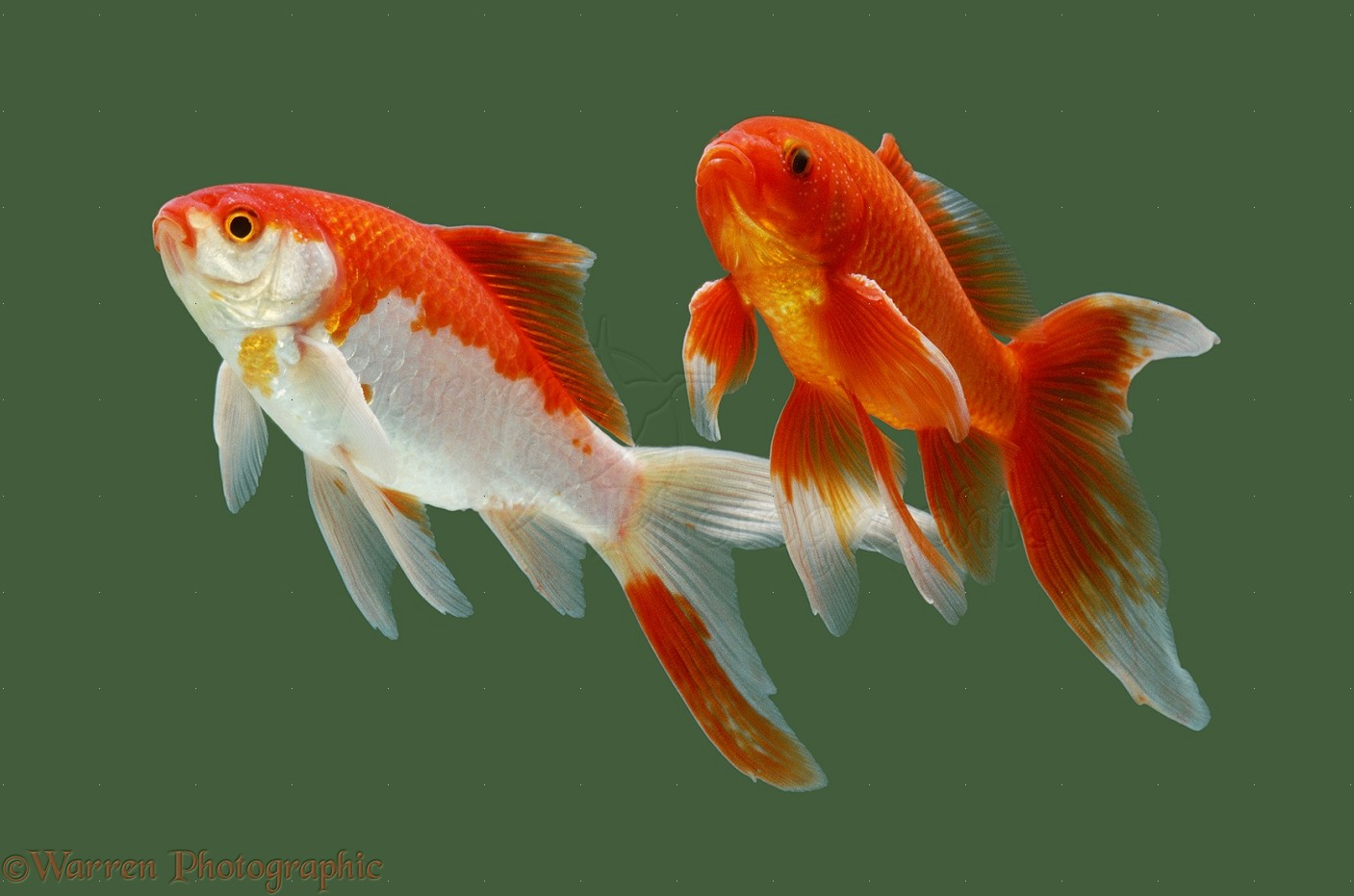 HQ Goldfish Wallpapers   File 144.24Kb