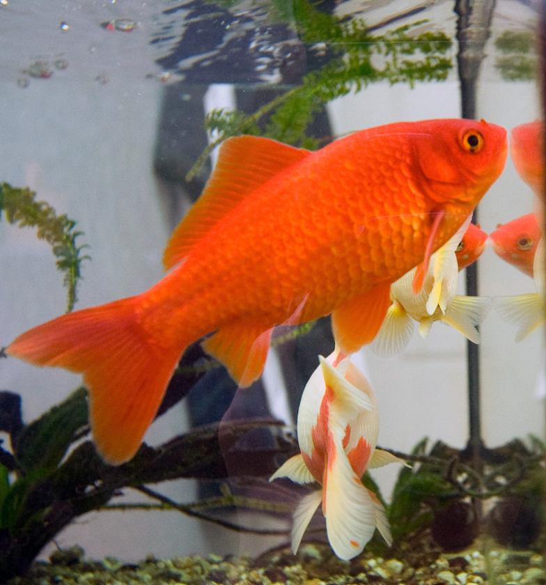 Goldfish Backgrounds, Compatible - PC, Mobile, Gadgets  784x840 px