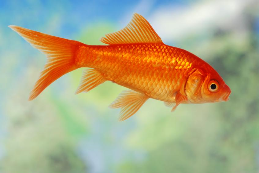 Images of Goldfish   847x567