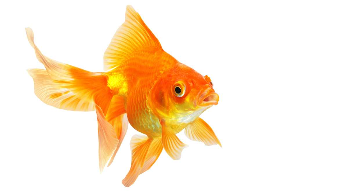 1200x675 > Goldfish Wallpapers