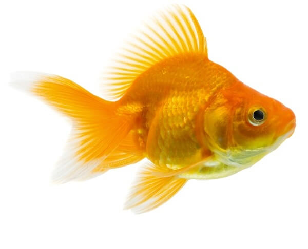 Nice Images Collection: Goldfish Desktop Wallpapers