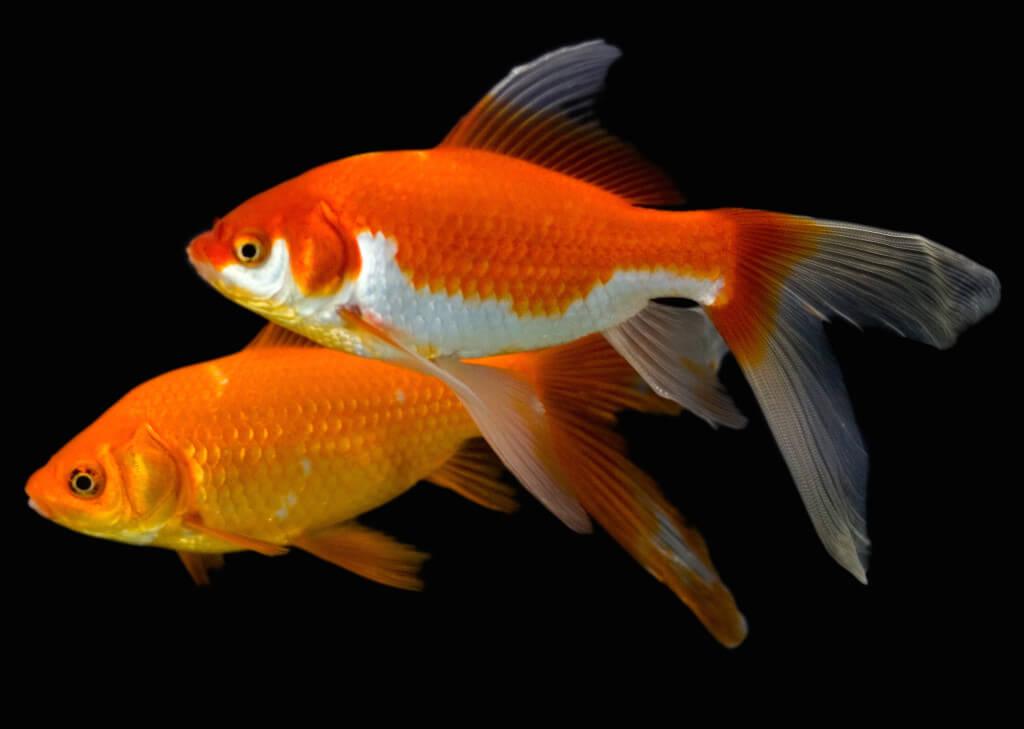 1024x729 > Goldfish Wallpapers