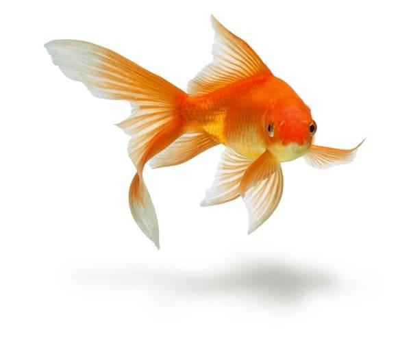 Goldfish Backgrounds, Compatible - PC, Mobile, Gadgets  600x495 px