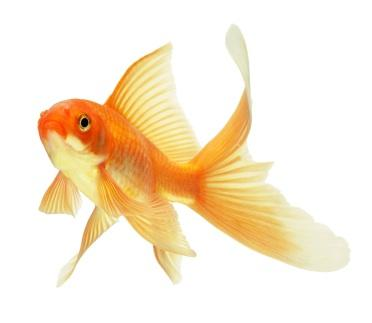 Goldfish High Quality Background on Wallpapers Vista