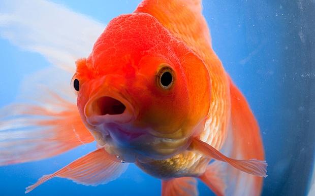 620x387 > Goldfish Wallpapers