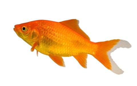 Goldfish Backgrounds, Compatible - PC, Mobile, Gadgets  480x302 px