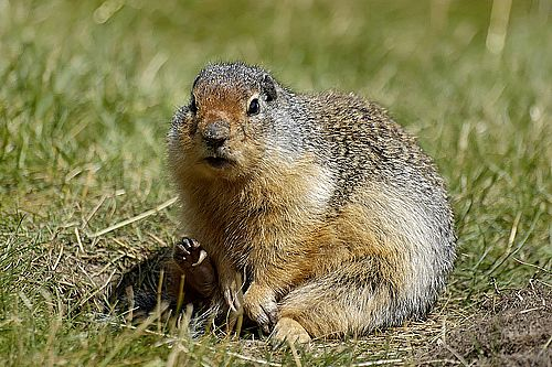 Images of Gopher | 500x333