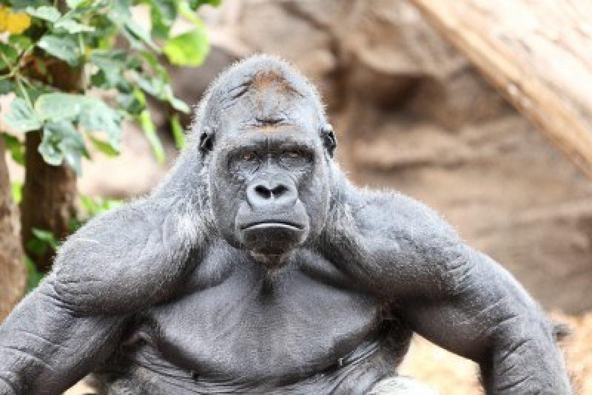 Gorilla Backgrounds, Compatible - PC, Mobile, Gadgets  1200x801 px