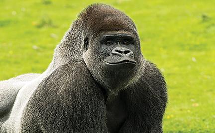 432x269 > Gorilla Wallpapers