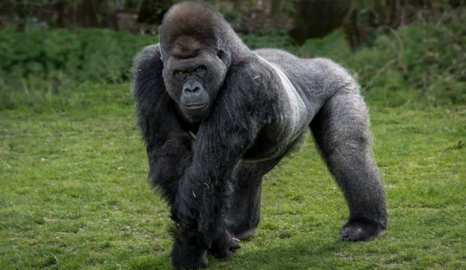 Amazing Gorilla Pictures & Backgrounds