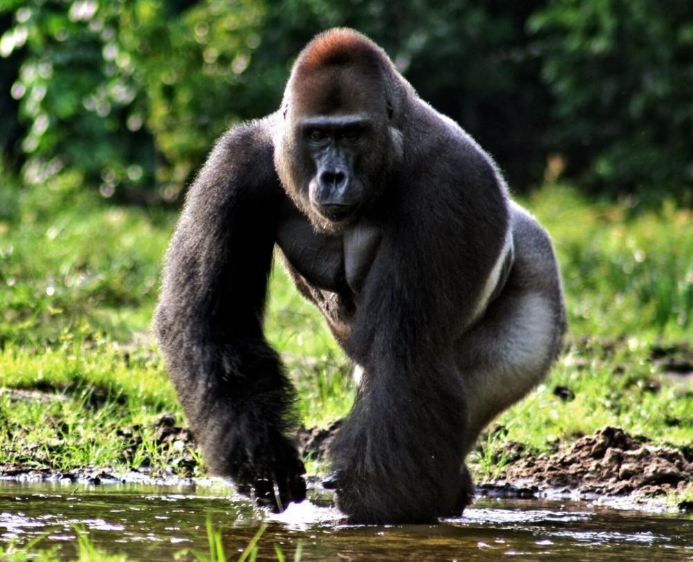 Images of Gorilla   1000x811