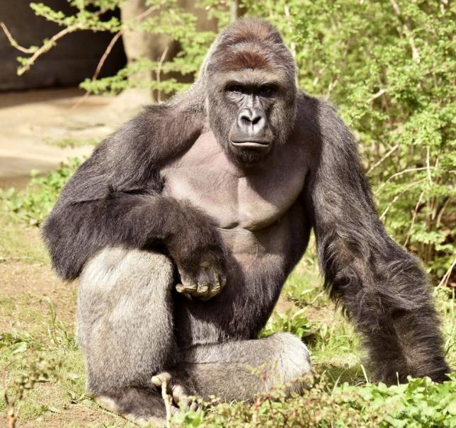 Nice Images Collection: Gorilla Desktop Wallpapers