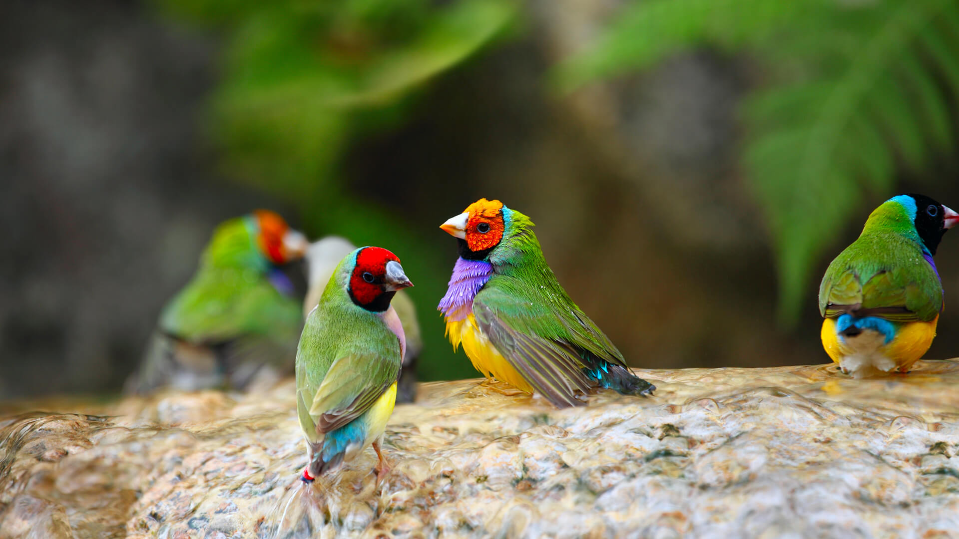 HD Quality Wallpaper | Collection: Animal, 1920x1080 Gouldian Finch