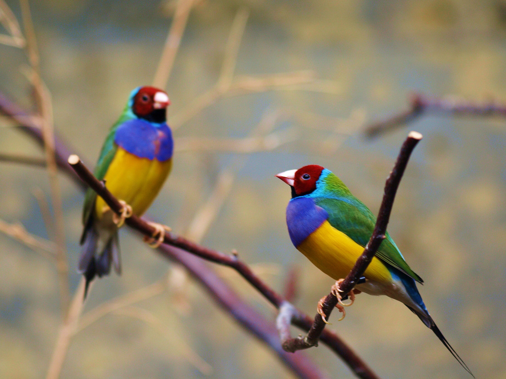 Gouldian Finch Pics, Animal Collection