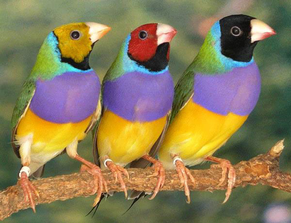 Gouldian Finch Backgrounds on Wallpapers Vista