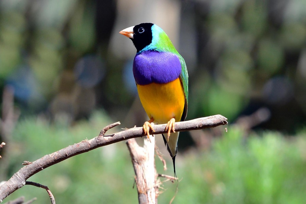 Images of Gouldian Finch | 1032x688