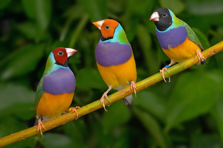 Images of Gouldian Finch | 753x500