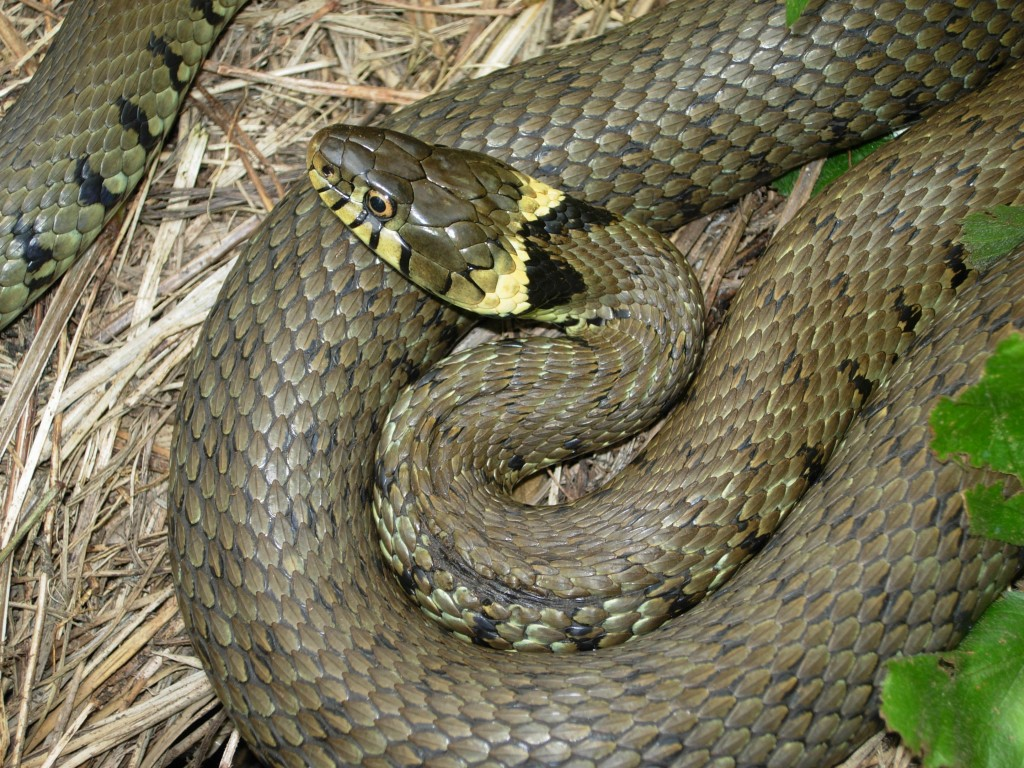 Images of Grass Snake   1024x768