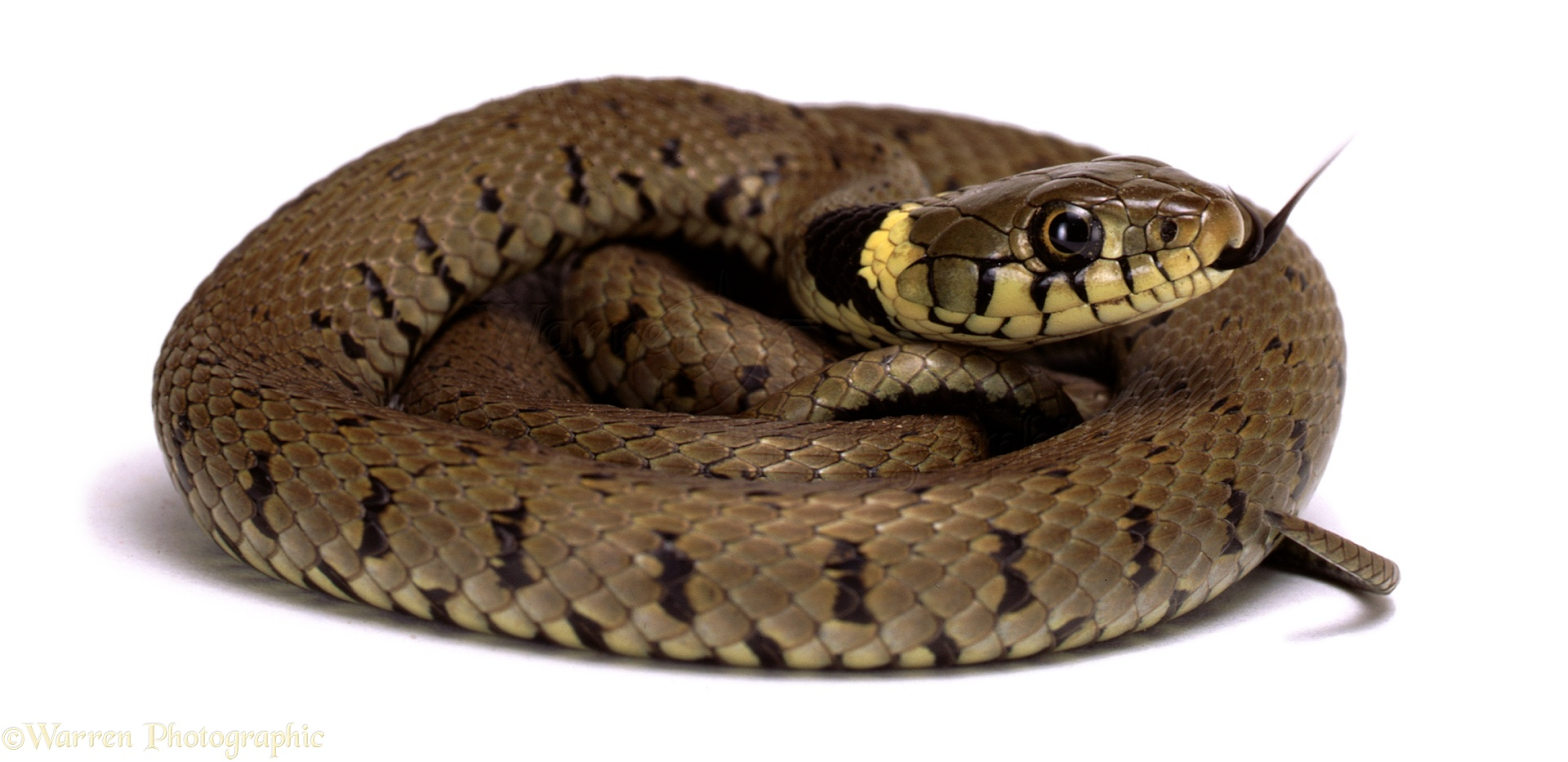 Amazing Grass Snake Pictures & Backgrounds