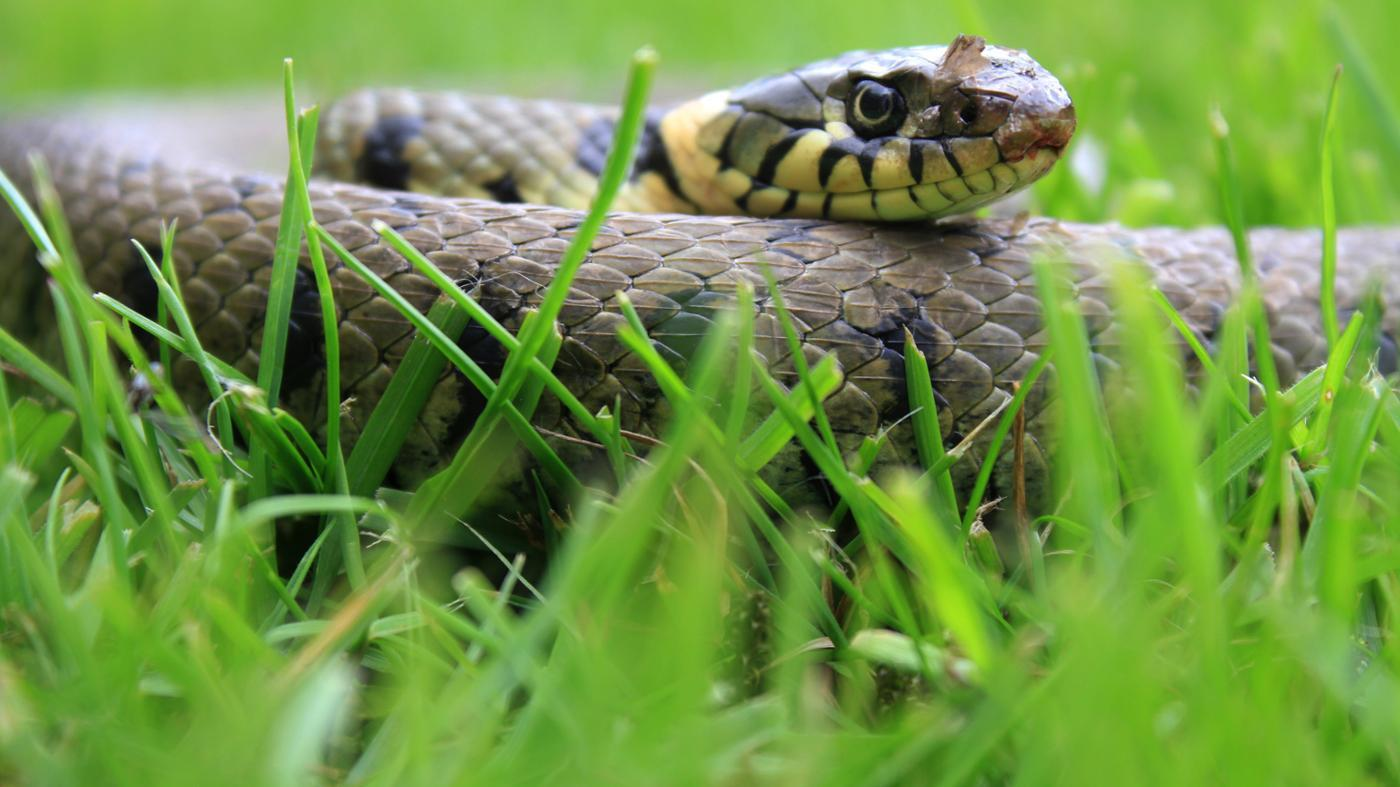 HQ Grass Snake Wallpapers   File 118.61Kb