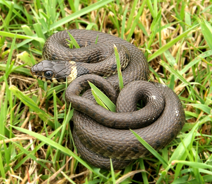 Grass Snake High Quality Background on Wallpapers Vista