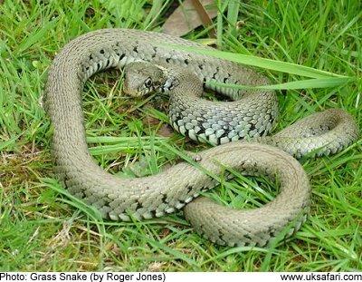 Grass Snake Pics, Animal Collection