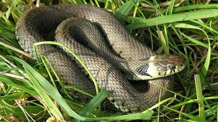 HQ Grass Snake Wallpapers   File 35.19Kb