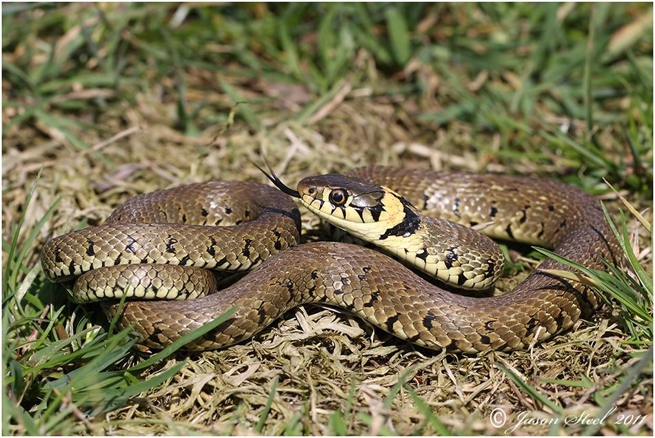 Nice wallpapers Grass Snake 950x635px