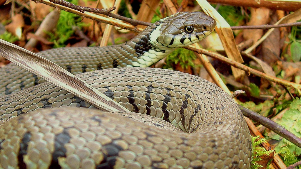 Nice Images Collection: Grass Snake Desktop Wallpapers