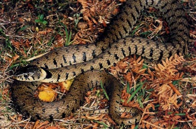 HQ Grass Snake Wallpapers   File 50.46Kb