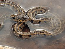 HD Quality Wallpaper   Collection: Animal, 220x165 Grass Snake