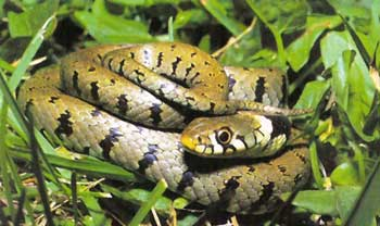 Nice wallpapers Grass Snake 350x208px
