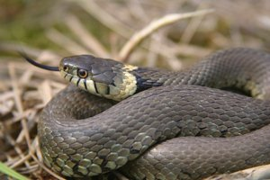 Grass Snake Backgrounds, Compatible - PC, Mobile, Gadgets  300x200 px