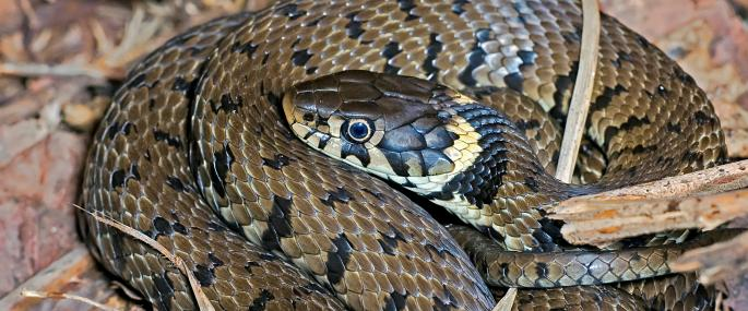 HD Quality Wallpaper   Collection: Animal, 685x285 Grass Snake