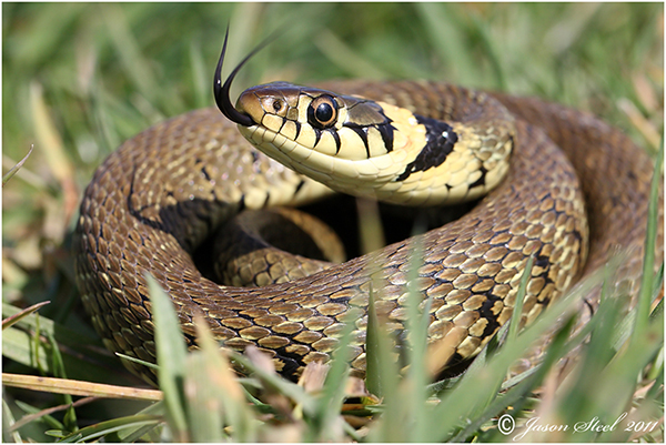 HQ Grass Snake Wallpapers   File 272.23Kb