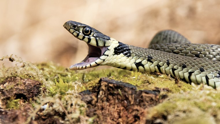 Grass Snake Backgrounds, Compatible - PC, Mobile, Gadgets  762x429 px