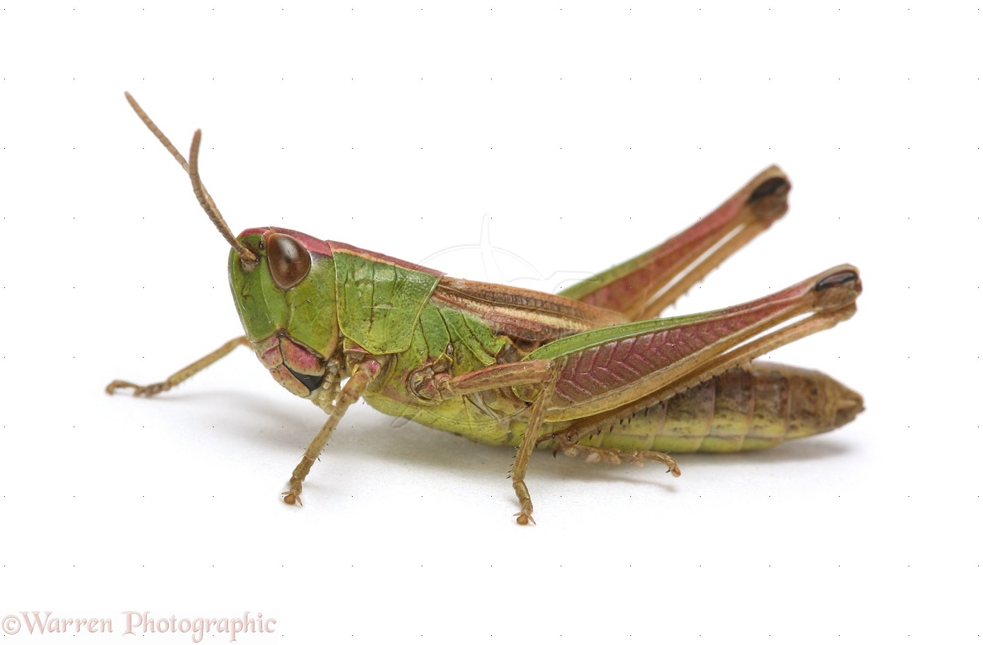 HD Quality Wallpaper | Collection: Animal, 1413x927 Grasshopper