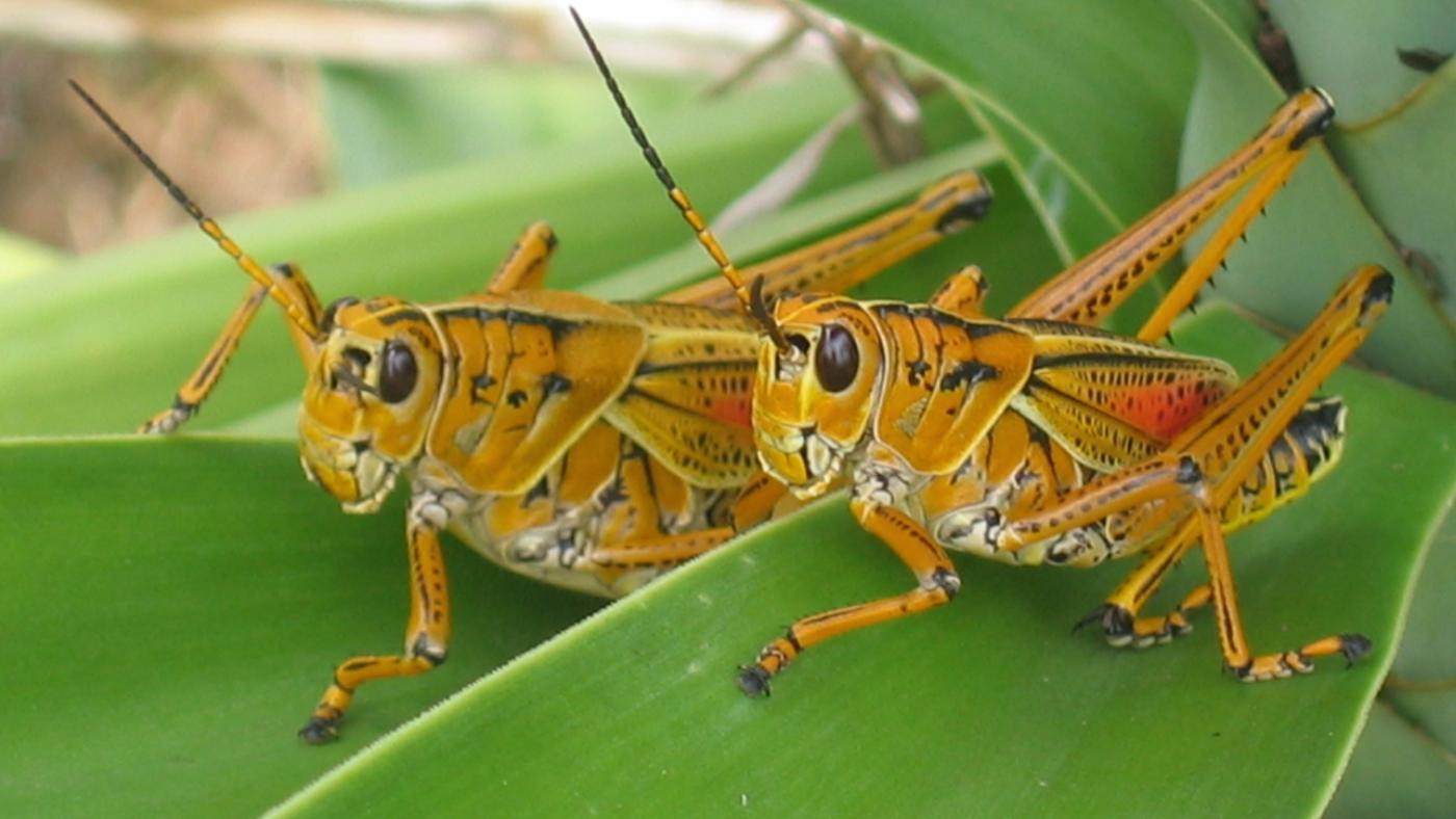 HQ Grasshopper Wallpapers | File 97.44Kb
