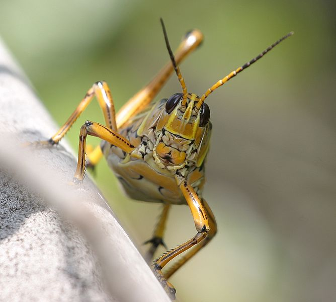 HD Quality Wallpaper | Collection: Animal, 668x600 Grasshopper