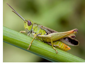 Nice wallpapers Grasshopper 290x220px