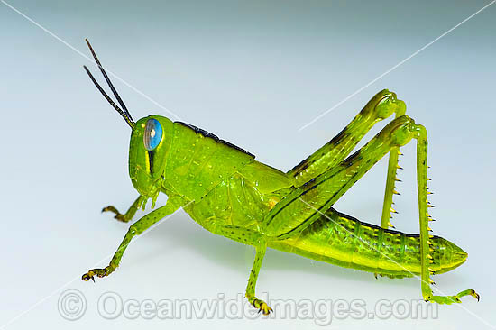 Grasshopper Pics, Animal Collection