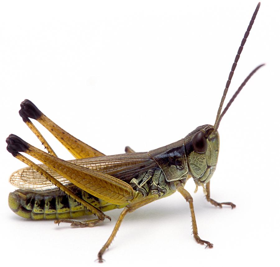 Nice Images Collection: Grasshopper Desktop Wallpapers