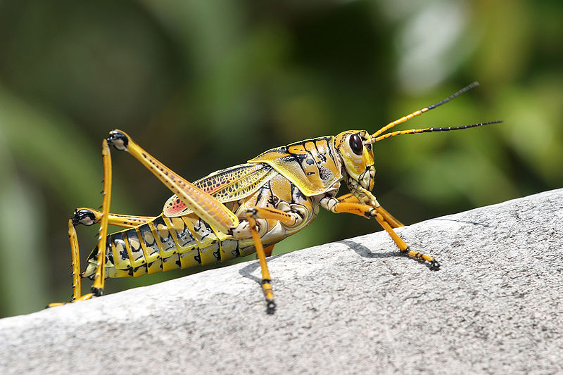 Amazing Grasshopper Pictures & Backgrounds